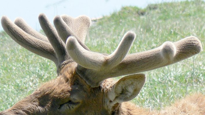 deer-velvet.jpg