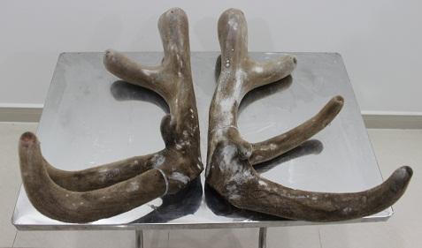 Nhung hươu New Zealand loại lớn